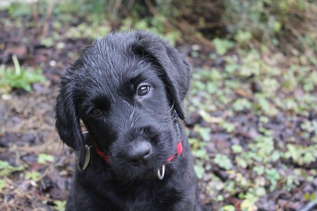 Elève chien guide Igor à 8 semaines