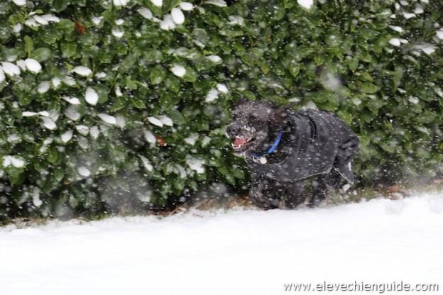 Eleve chien guide d'aveugle qui court dans la neige