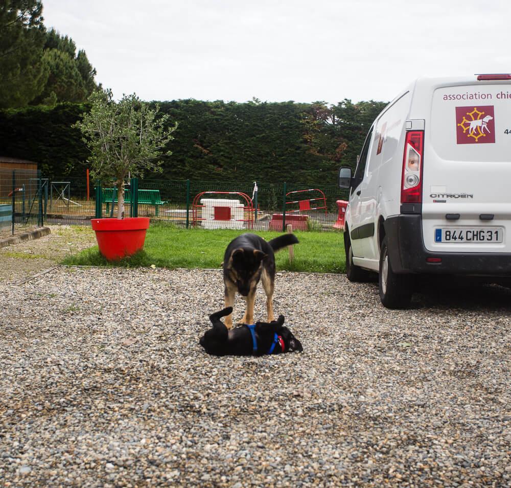 Massaï joue avec un berger allemand futur chien guide
