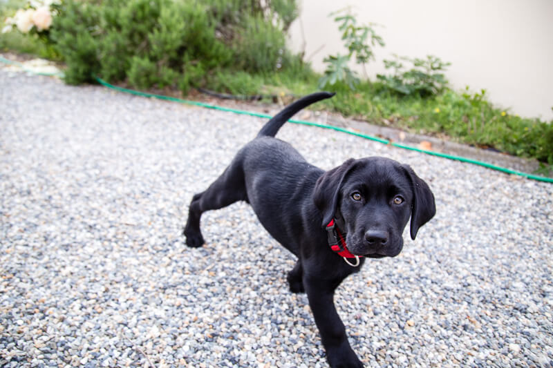 Massaï élève chien guide 10 semaines